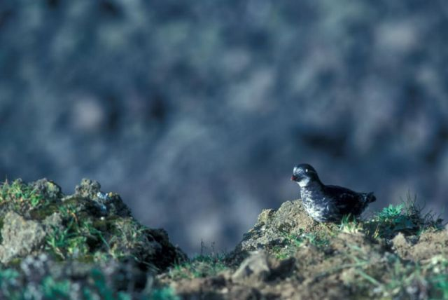 Least Auklet Picture