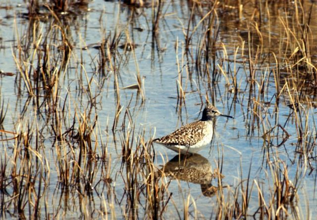 Wood Sandpiper, Amchitka Is, 1973 Picture