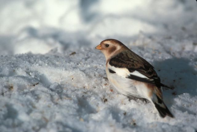 Snow Bunting, non breeding plumage Picture