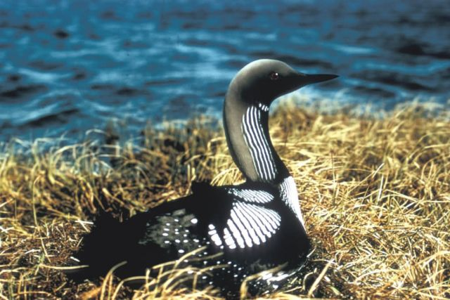 Pacific Loon Picture