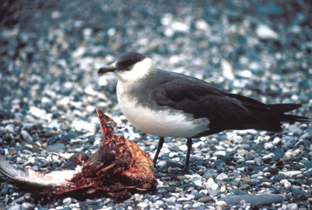 Parasitic Jaeger Picture