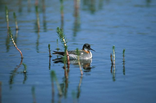 Northern Phalarope or Red-necked Phalarope Picture