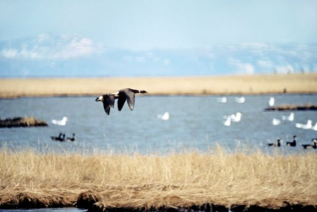 Brants Flying Over Tutakolee River Picture