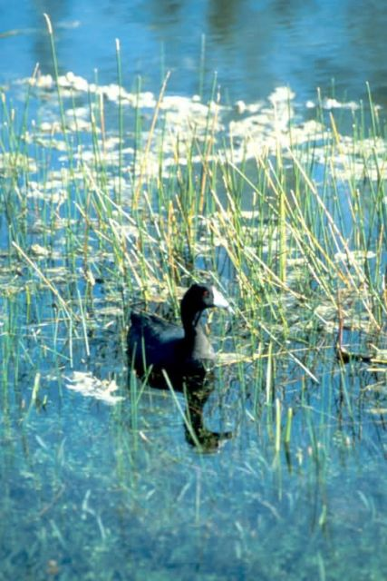 American Coot Picture