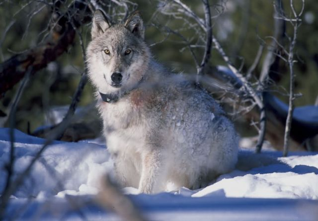 130 Pound Wolf Watches Biologists in Yellowstone National Park Picture