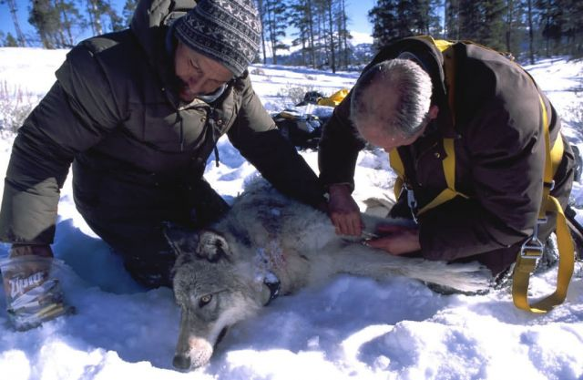 Biologists Take Blood Samples From a Tranquilized Wolf Picture