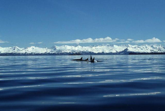 Killer Whale Pod Picture