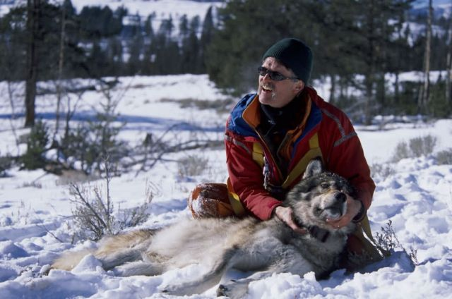Dr. Doug Smith Checks the New Radio Collar on a Tranquilized Wolf Picture
