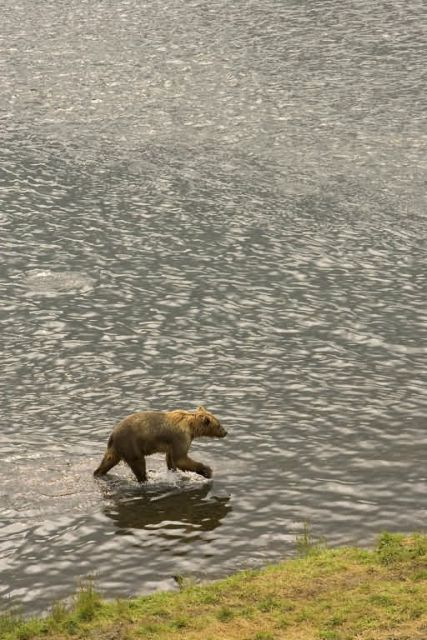 Brown Bear Wading Through Water Picture