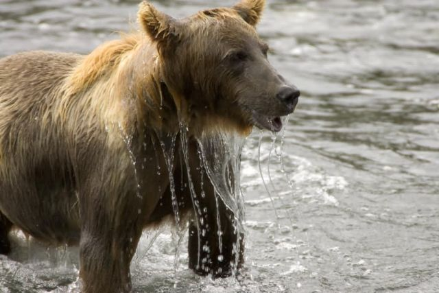 Brown Bear Emerging From Water Picture