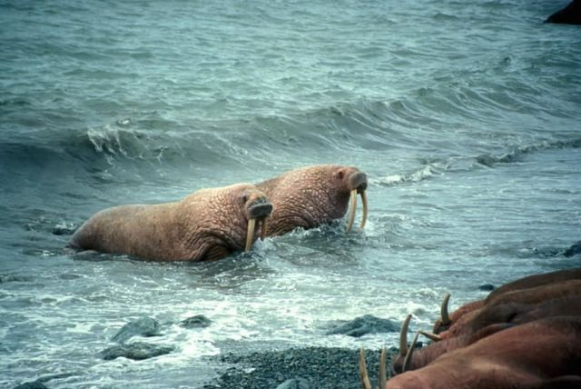 Walrus Pair Picture