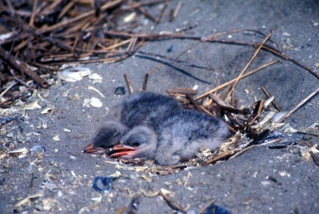 Caspian Tern Chicks in Nest Picture