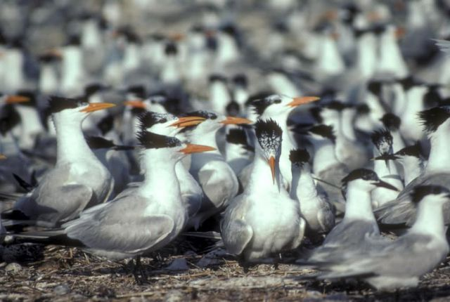 Royal Terns Picture