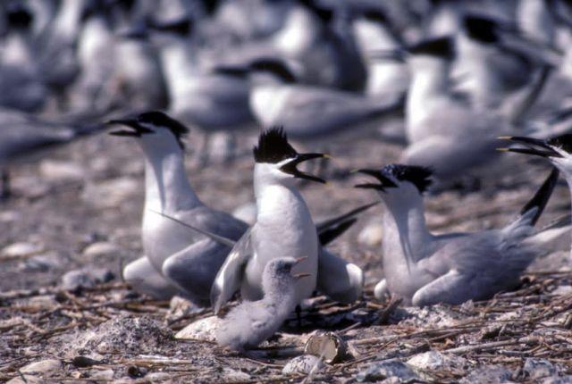 Sandwich Terns Picture