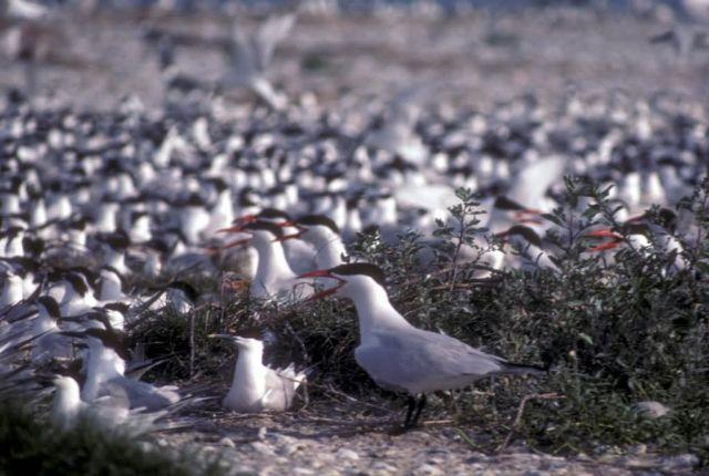 Caspian Terns Picture