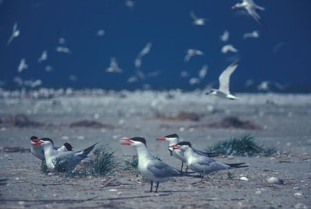 Caspian Terns Picture