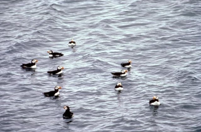 Horned Puffins on the Water Picture