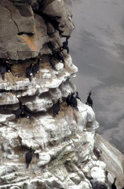 Red-faced Cormorant Colony Picture
