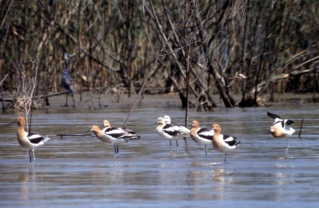 Avocets Picture