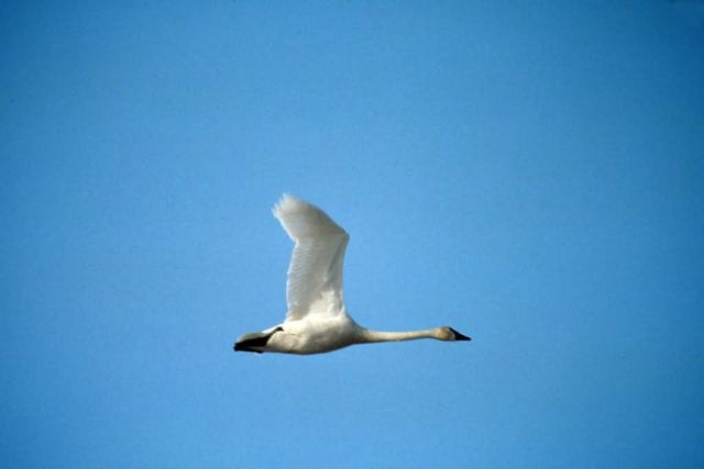 Tundra Swan in Flight Picture