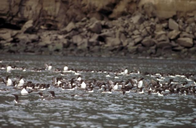 Common Murres on the Water Picture