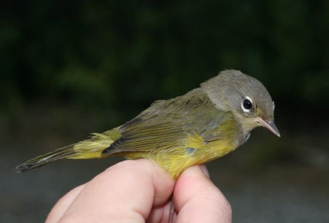 Orange-crowned Warbler in Hand Picture
