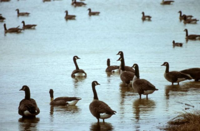 Canada Geese at an Ohio Wetland Picture