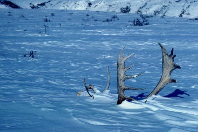 Caribou Antlers in the Snow Picture