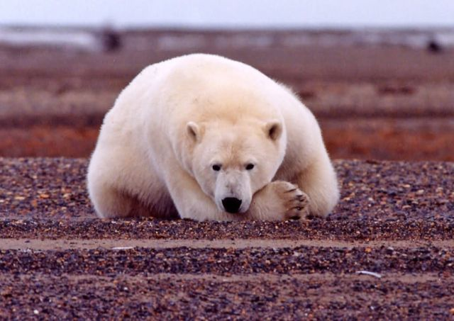 Polar Bear Resting but Alert Picture