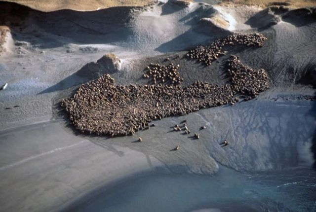 Sea Lions at Haulout - Aerial View Picture