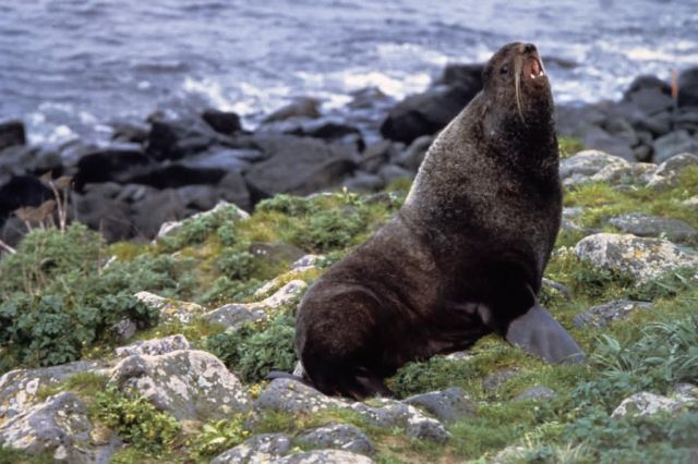 Northern Fur Seal Picture