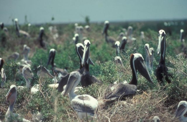 Brown Pelican Rookery Picture
