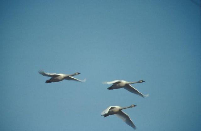 Whooper Swans in Flight Overhead Picture