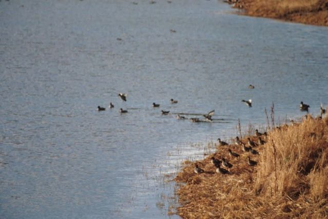 Green-winged Teals Picture