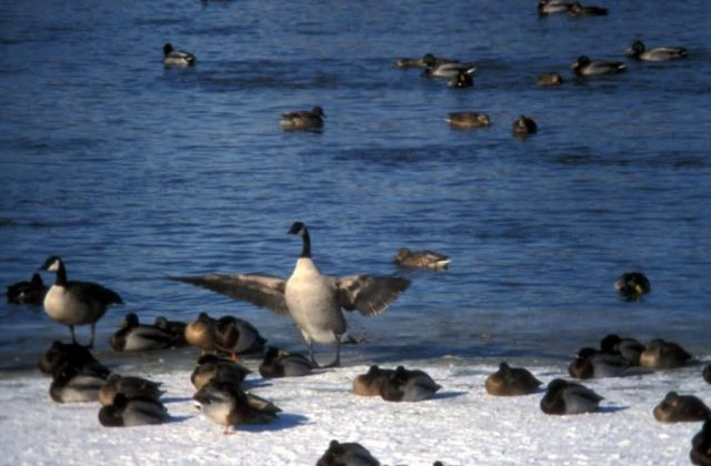 Canada Goose and Mallards Picture
