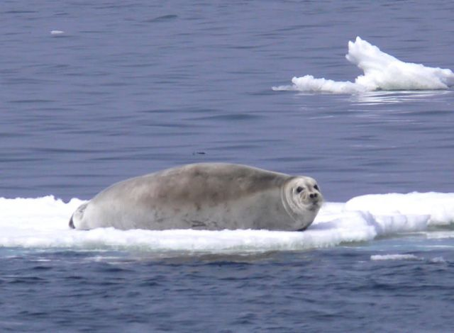 Bearded Seal Picture