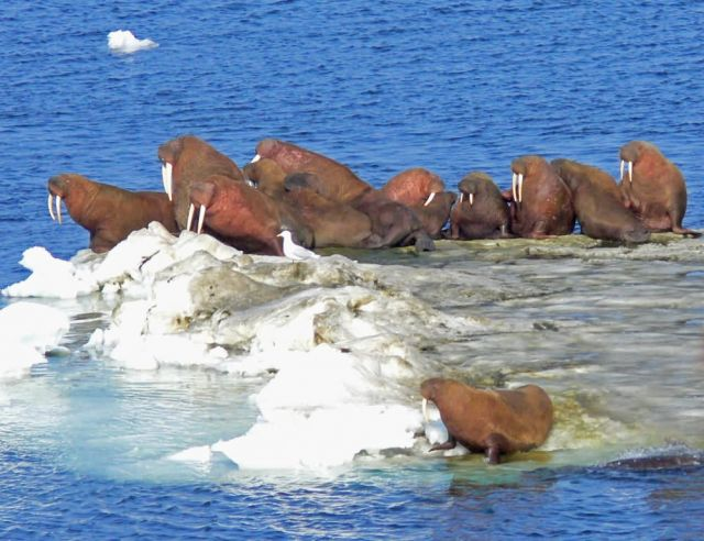 Walrus on Bering Sea Ice Picture