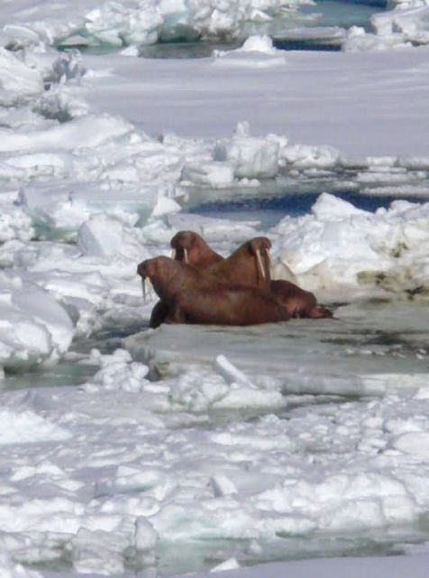 Walrus Resting in Ice Pack Picture