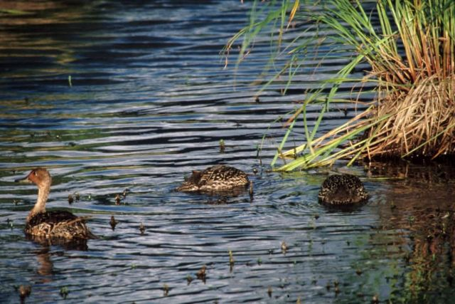 Northern Pintail Brood Picture