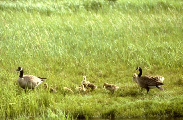 Canada Goose Brood Picture