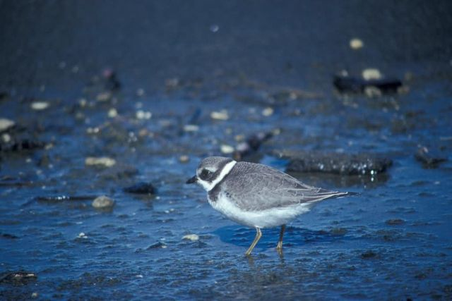 Semipalmated Plover Picture