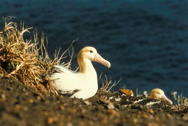 Short-tailed Albatross on Nest Picture