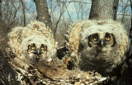 Great Horned Owl Chicks in Nest Picture