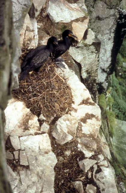 Double-crested Cormorants Nesting Picture