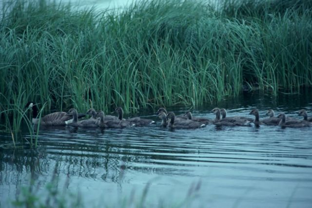 Canada Goose and Brood in Water Picture