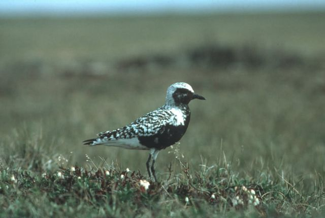 Black-bellied Plover Picture