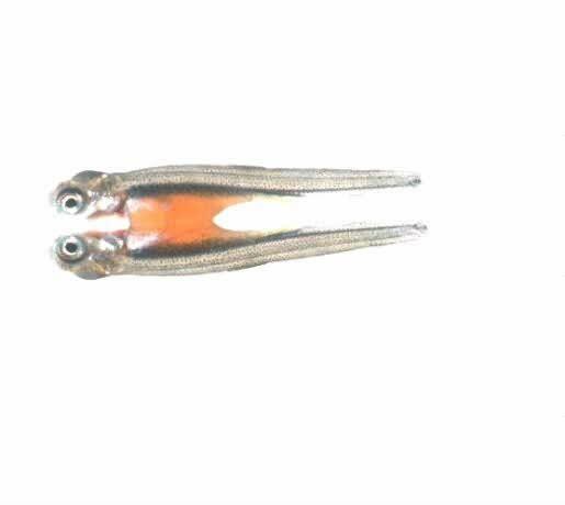 Salmon Alevin Picture