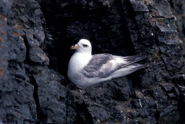 Northen Fulmar light phase Picture