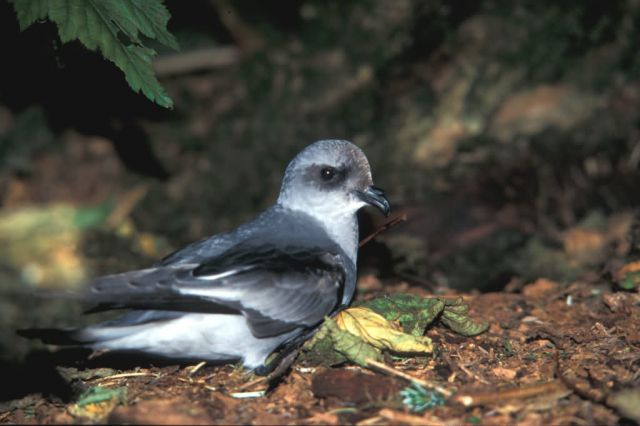 Fork-tailed Storm Petrel, St Picture