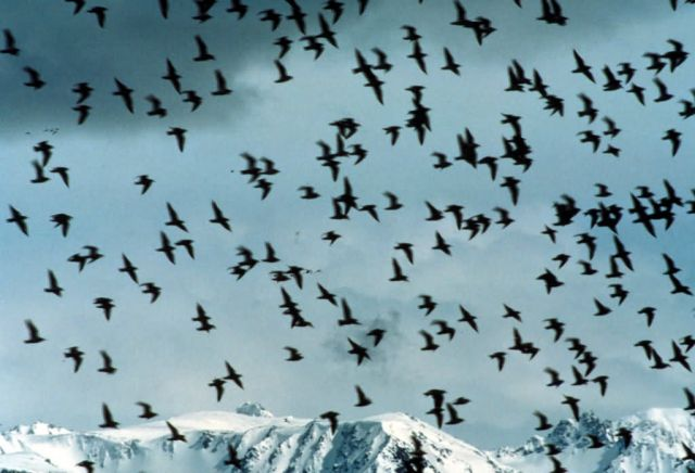 Shorebird flock, Kachemak Bay Shorebird Festival, Homer Picture